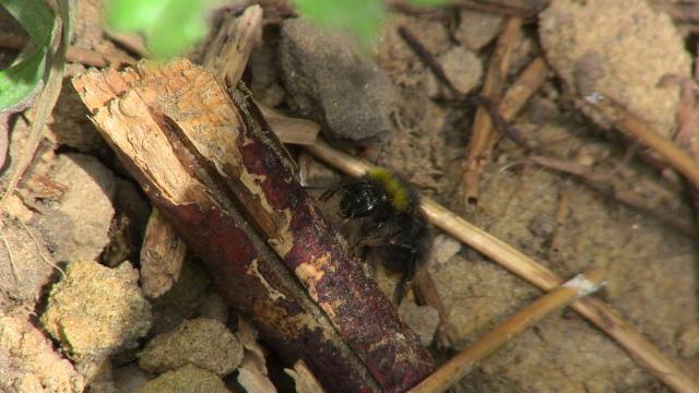 Biene oder Hummel