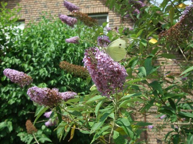 Schmetterling am Sommerflieder