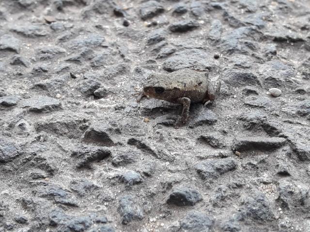 Junge Kröte auf Straße