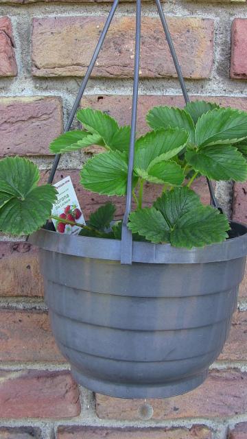 Erdbeerpflanze im Hängetopf