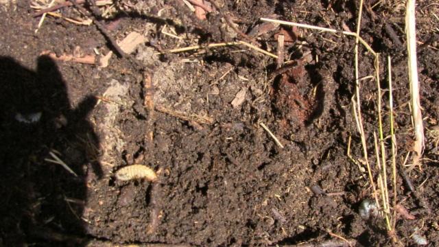 Larven Nashornkäfer im Kompost