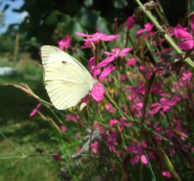 Weißer Schmetterling auf rosa Heidenelke