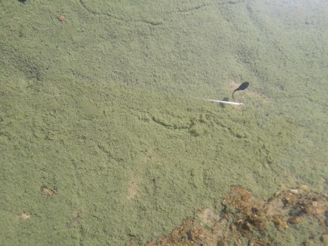 Kaulquappe im Teich