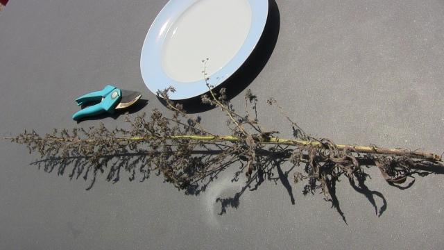Abgeschnittener Zweig Natternkopf auf Tisch