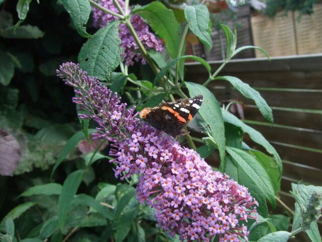Schmetterling auf Blühte